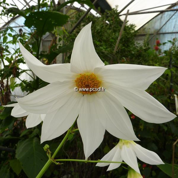 Dahlia imperialis \'Alba\' C3L