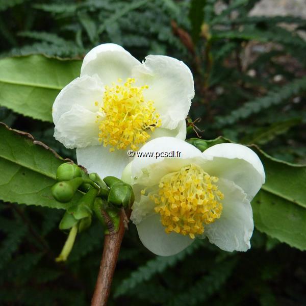 Camellia sinensis C5L 60/80