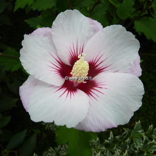Hibiscus syriacus \'Pinky Spot\' ® C4L 40/60