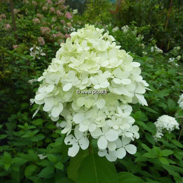 Hydrangea paniculata \'Limelight\' ® C15L 60/80