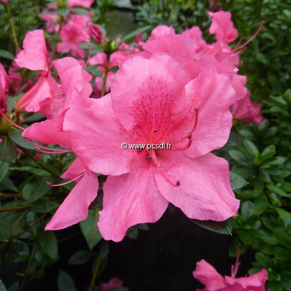 Rhododendron (azalée persistante) \'Encore Carnival\' ® C5L 20/30