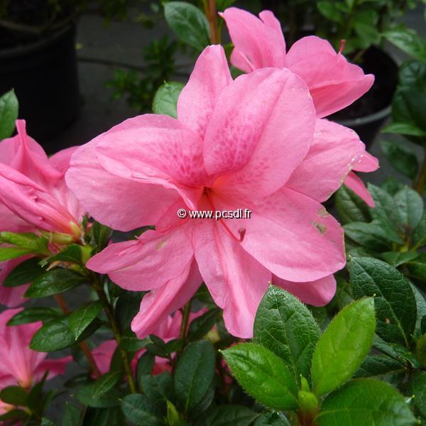 Rhododendron (azalée persistante) \'Encore Empress\' ®