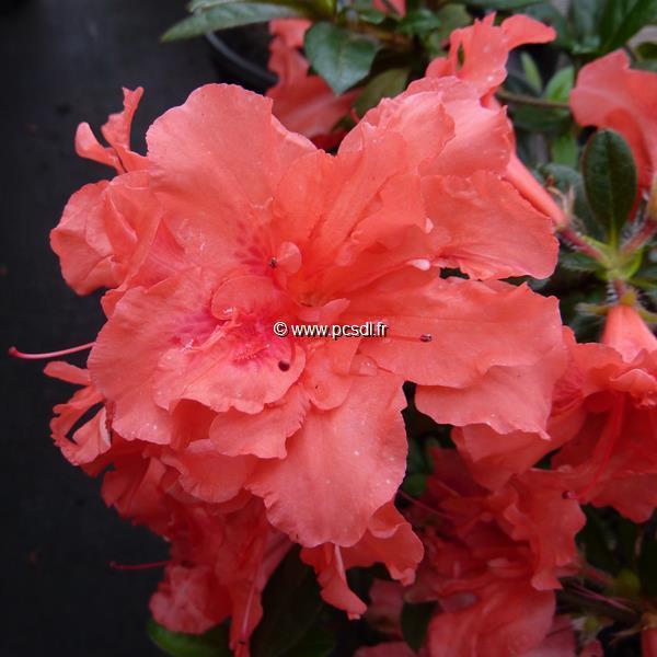 Rhododendron (azalée persistante) \'Encore Sunset\' ® C3L 20/30