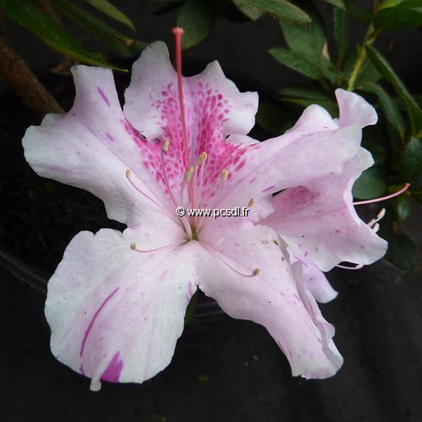 Rhododendron (azalée persistante) \'Encore Twist\' ® rose C3L 20/30
