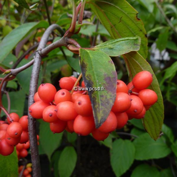 Viburnum setigerum C5L 100/125
