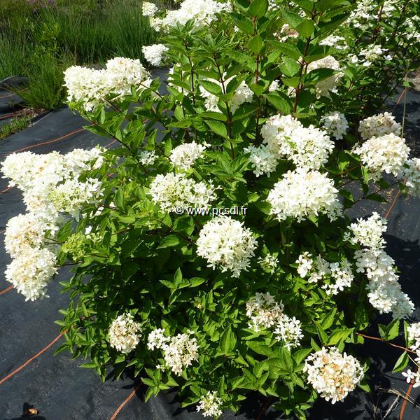 Hydrangea paniculata \'Bomb Shell\' ® C4L 30/40