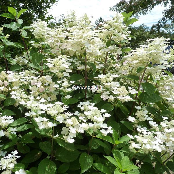 Hydrangea paniculata \'Early Sensation\' ® C4L 30/50