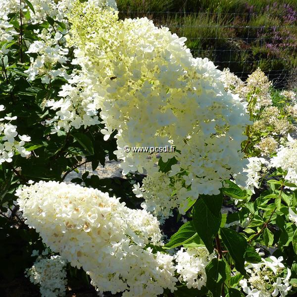 Hydrangea paniculata \'Grandiflora\' 40/50 C4L