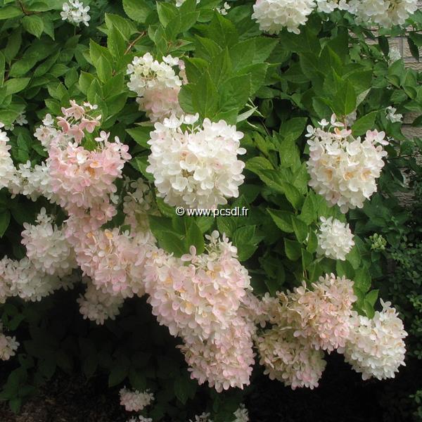 Hydrangea paniculata \'Grandiflora\' C15L 40/60