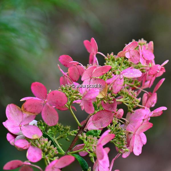 Hydrangea paniculata \'Pink Diamond\' C4L 40/60