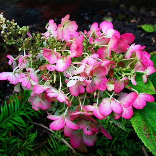 Hydrangea paniculata \'Pink Diamond\' C15L Tige 1m