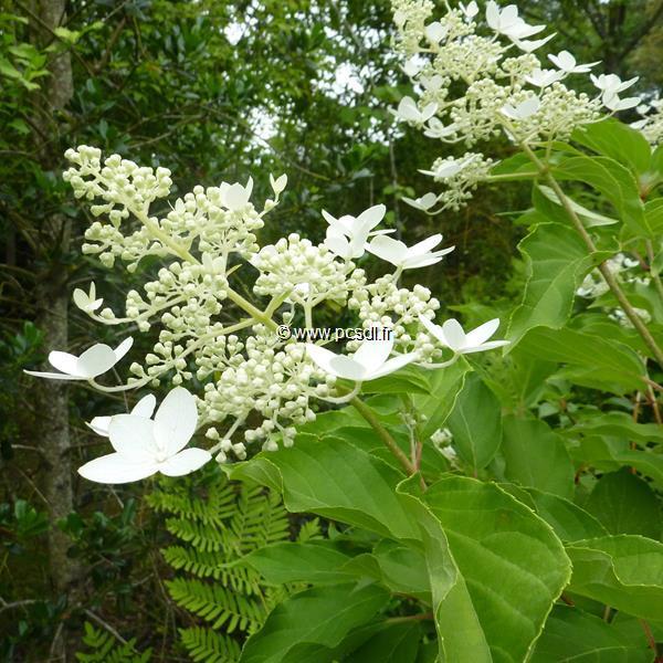 Hydrangea paniculata \'Praecox\' C15L 100/125