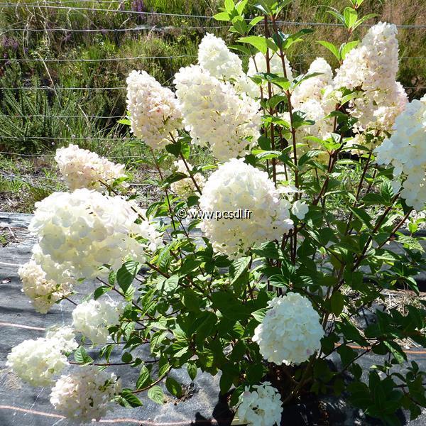 Hydrangea paniculata \'Sundae Fraise\' ® C4L 30/40