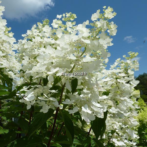 Hydrangea paniculata \'Unique\' C4L 40/60