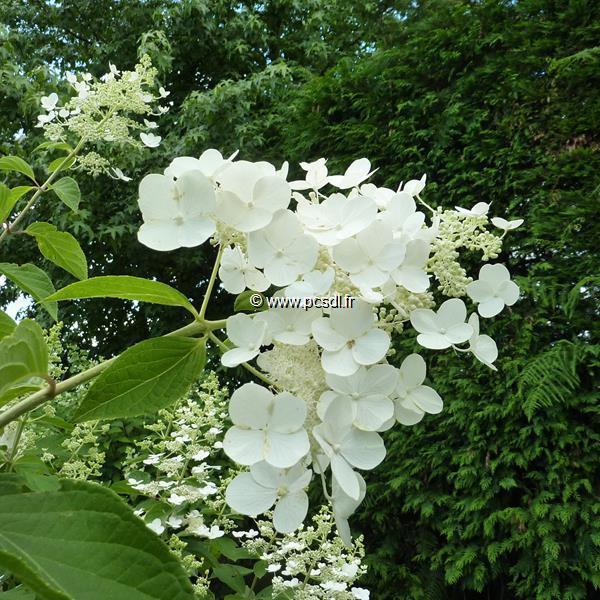 Hydrangea paniculata \'White Moth\' 30/40 C4L