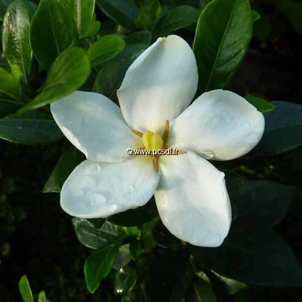 Gardenia jasminoides \'Kleim\'s Hardy\' C3L 20/30