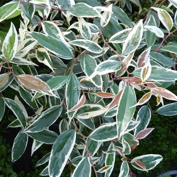 Leucothoë fontanesiana \'Whitewater\' ® C3L 40/60