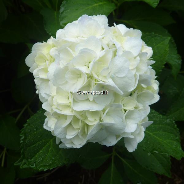 Hydrangea macrophylla \'Mme Emile Mouillère\' C4L 20/40