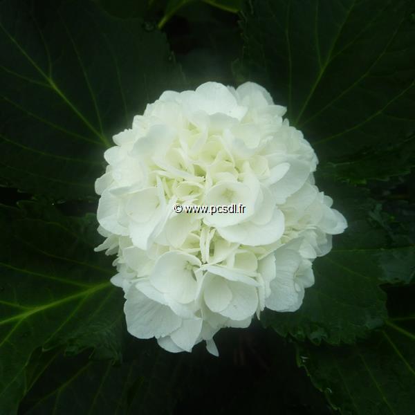 Hydrangea macrophylla \'Jumbo\' 20/40 C4L