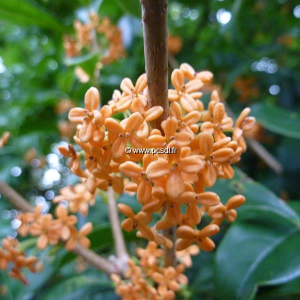 Osmanthus fragrans f. aurantiacus C10L 100/125
