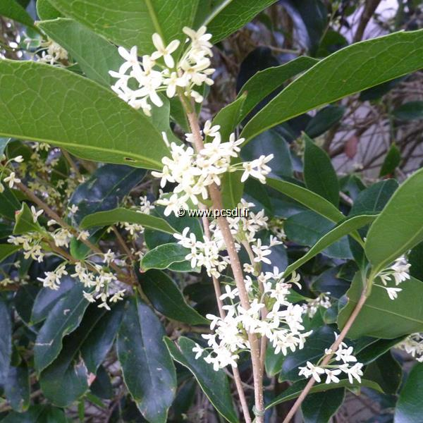 Osmanthus fragrans C4L 40/60
