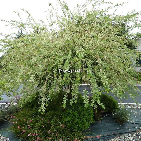 Salix integra \'Hakuro-nishiki\' 1/2 tige 100/120 C7L