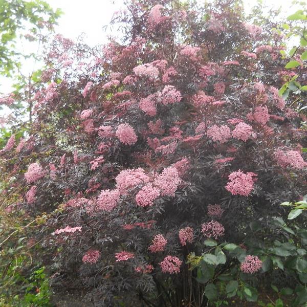 Sambucus nigra \'Black Lace\' ® C4L 30/40