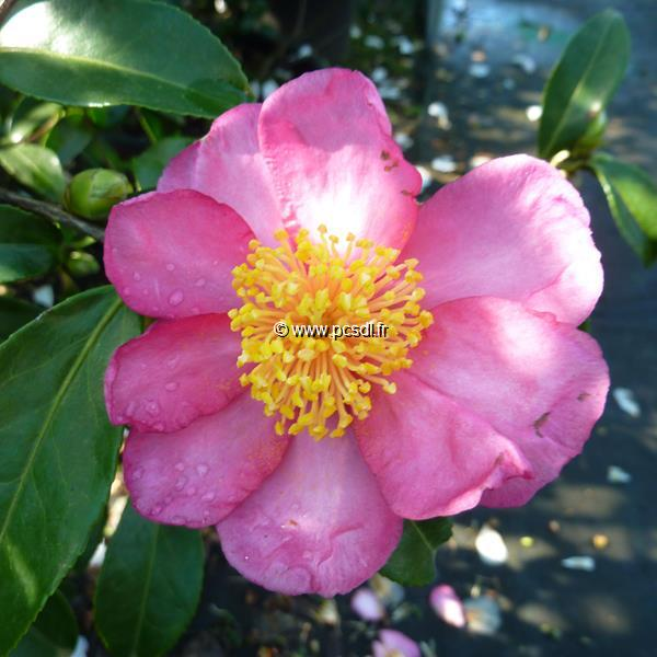 Camellia sasanqua \'Evangeline\' C5L 40/60