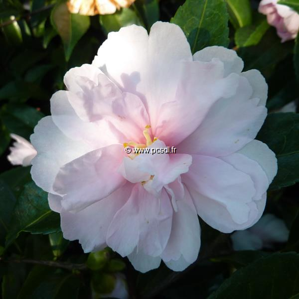 Camellia sasanqua \'Jean May\'