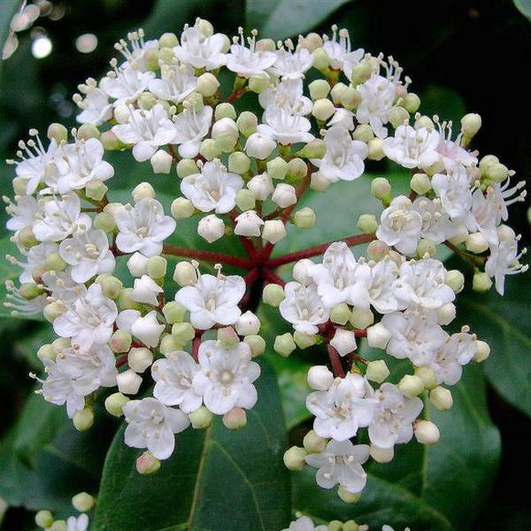 Viburnum tinus \'Lucidum\' 40/60 C4L