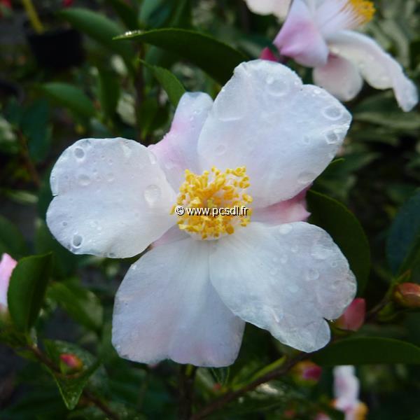 Camellia x \'Festival of Lights\' C3L 20/30