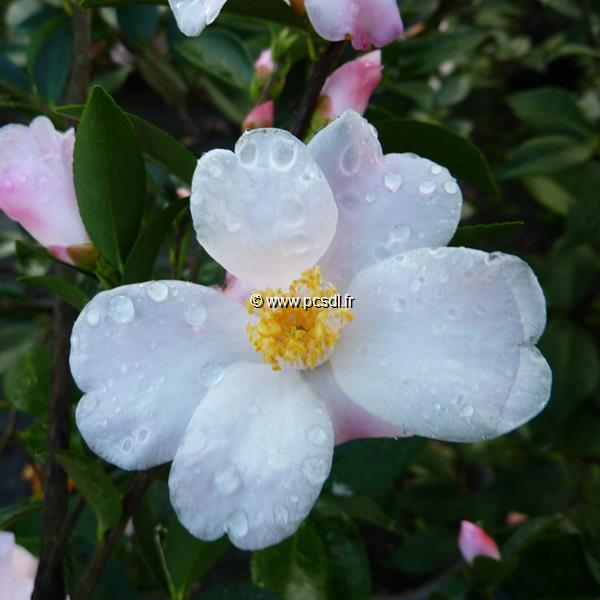 Camellia x \'Festival of Lights\'