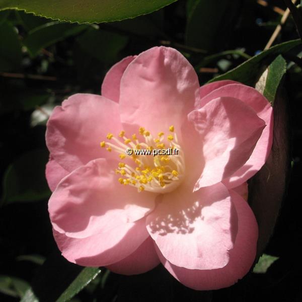 Camellia japonica \'Bérénice Boddy\' C2L 20/30