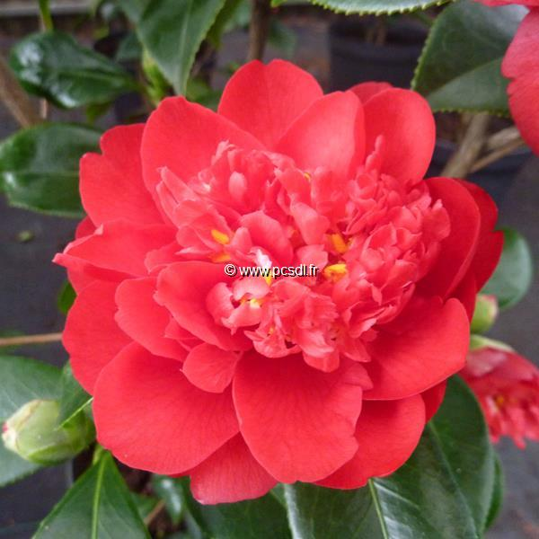 Camellia japonica \'Bob Hope\'