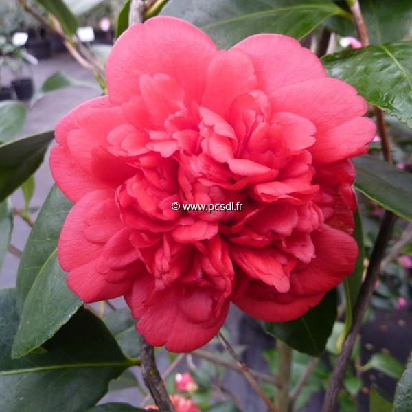 Camellia japonica \'Fire Falls\' C4L 40/60