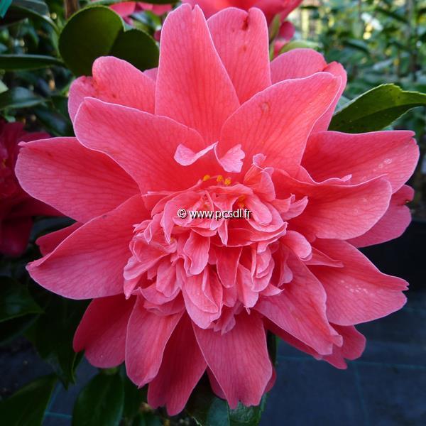 Camellia japonica \'Mark Alan\' C10L 60/80