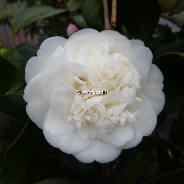Camellia japonica \'Nobilissima\' C30L 80/100