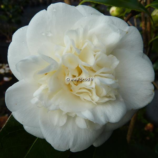 Camellia japonica \'Nobilissima\' C4L 40/60