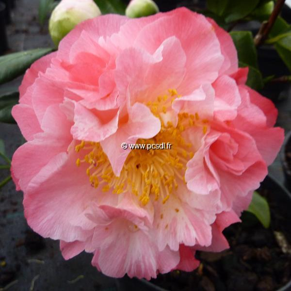 Camellia japonica \'Nuccio\'s Jewel\'