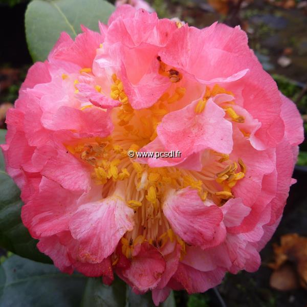 Camellia japonica \'Nuccio\'s Jewel\' C5L 40/60