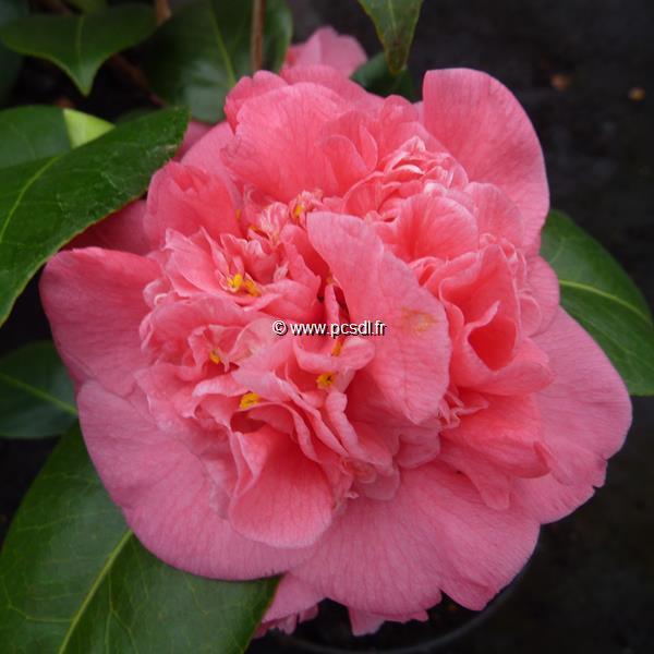 Camellia japonica Scentsation