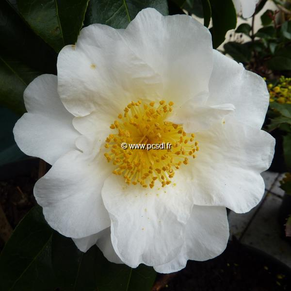 Camellia japonica \'Silver Waves\'