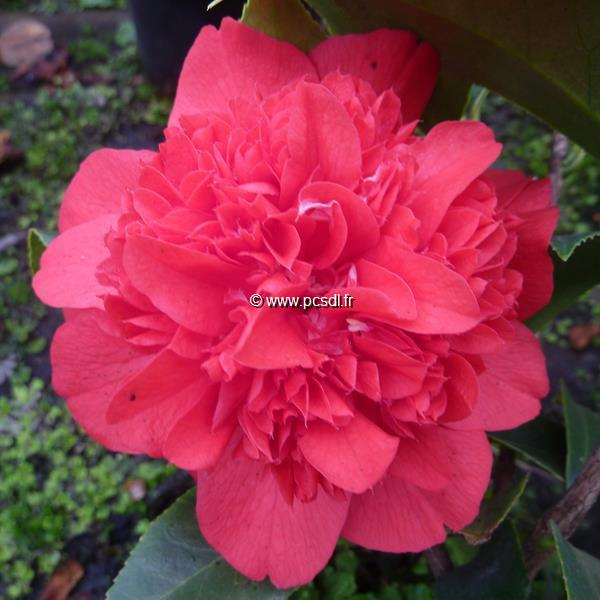 Camellia japonica \'Volcano\'