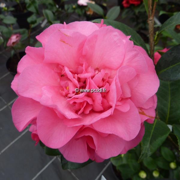 Camellia x williamsii \'Debbie\'