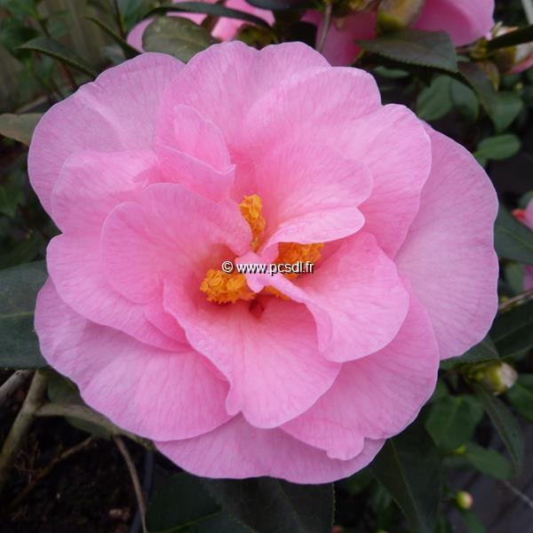 Camellia x williamsii \'Donation\' 40/50 C5L