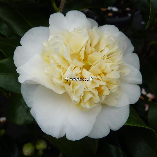 Camellia x williamsii \'Jury\'s Yellow\'