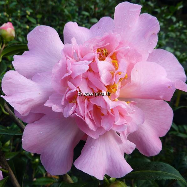 Camellia x williamsii \'Mary Phoebe Taylor\' C2L 20/30