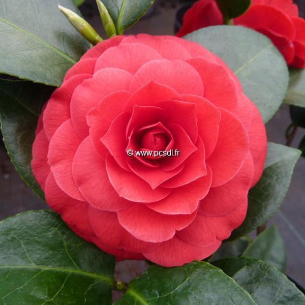 Camellia x \'Black Lace\' C20L 100/125