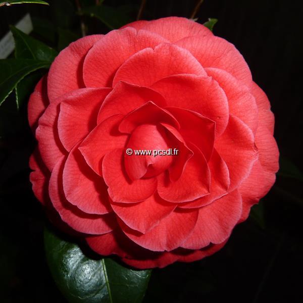 Camellia x \'Black Lace\' C4L 40/60