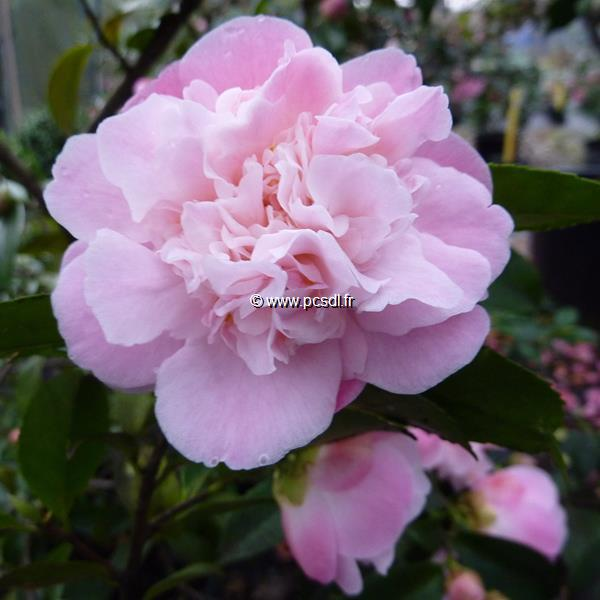 Camellia x \'High Fragrance\' C30L 100/125